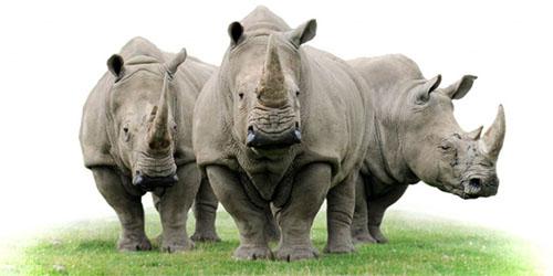 rhino-grass-suf