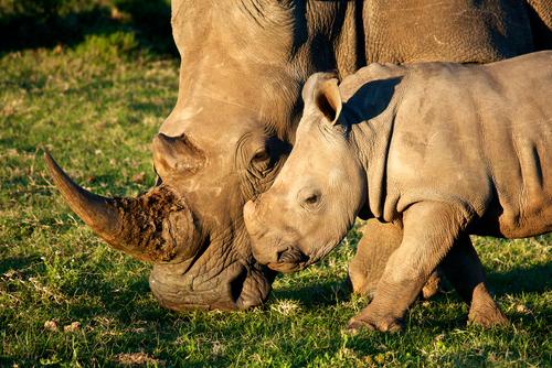 rhinos_mapesu