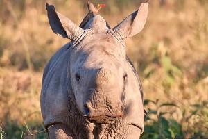 suf_baby_rhino