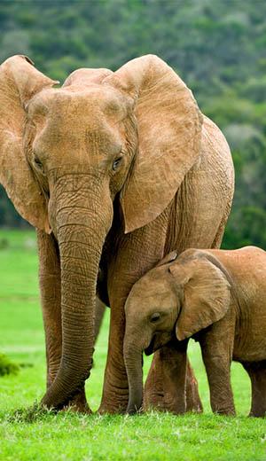 suf_elephants