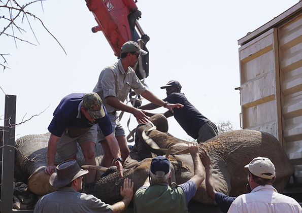 suf_relocation_elephants_4