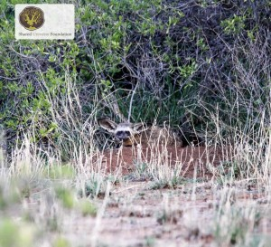 bat-eared_fox.2jpg